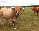 Vaches de la ferme de la petite hogue