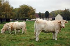 Vaches de la ferme de La Grenouillère