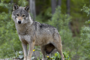 Loup dans la foret